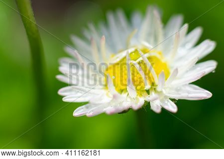 Blooming White Marguerite On Green Blurred Background. Yellow Cored Flower With Lots Of Petals