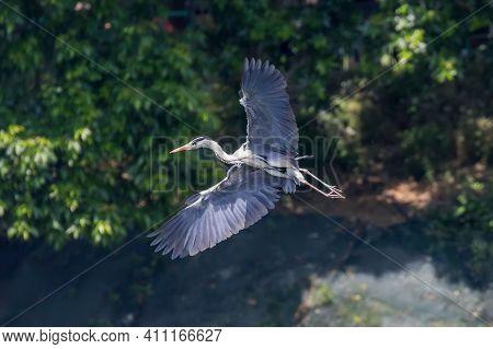 Grey Heron Landing (ardea Herodias) Grey Headed Heron