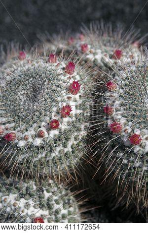 Canary Islands Lanzarote Cactus