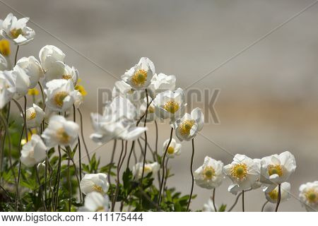 White Yellow- Hearted Flowers Of Snowdrop Windflowers (snowdrop Anemone, Anemone Sylvestris) Bloomin