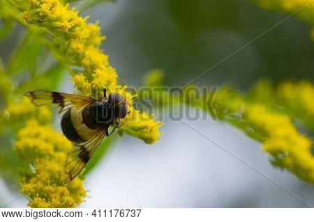 Of A Fly Insect With Red Eyes Sitting On A Yellow Goldenrod Flower In A Summer Field On A Yellow-gre