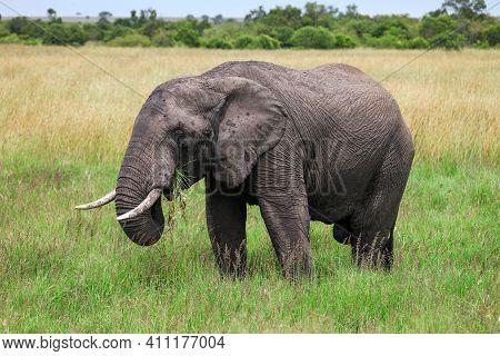 African Bush Elephant (loxodonta Africana) In A Green Grassland