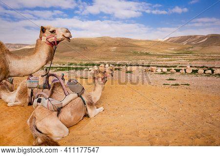 Camels In The Desert. Camels In Nature, Sky, Hills, Sand