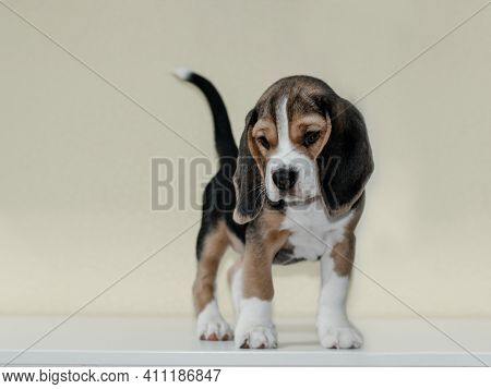 A Small Beagle Puppy Stands On A White Background Against The Wall