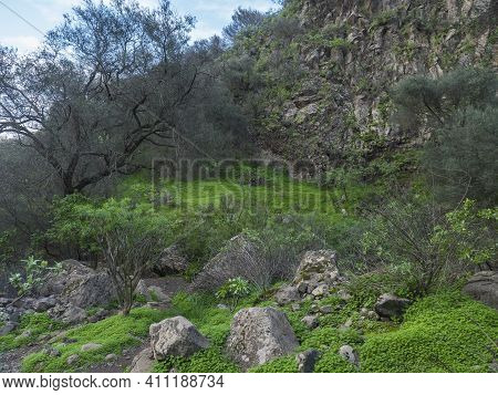 Lush Landscape Of Barranco De Los Cernicalos With Subtropical Plants And Cacti. Gran Canaria, Canary