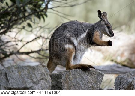The Yellow Footed Rock Wallaby Is Standing On A Rock