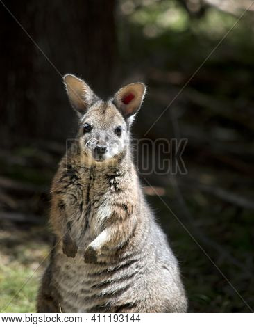 The Red Necked Wallaby Is Rufus On The Back Of Its Neck With A Grey Body And White Cheeks