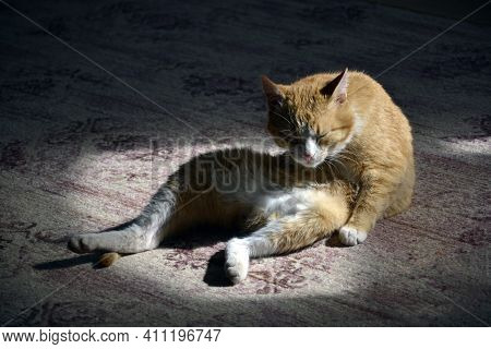 Ginger Cat Is Sitting On The Floor. The Greyhound Cat Is Sprawled On The Carpet And Washes Its Paws.