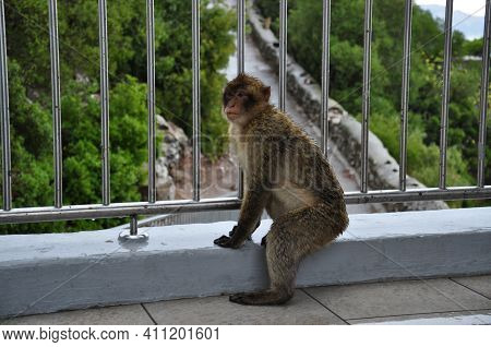 Wet Furry Ape Under Rain Outdoor. Gibraltar Barbary Macaque Monkey Sit Near Wet Fence And Looking Le