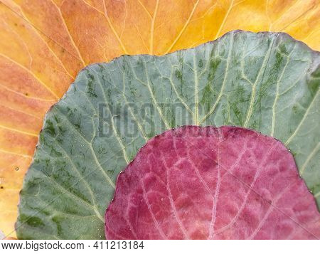 High Angle Shot Of Multi Colored Cabbage Leaves In Autumn Season, Close Up Shot Of Three Different C