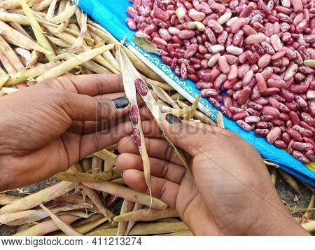High Angle Shot Of A Woman Taking Out Red Kidney Beans From Dry Pods