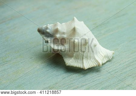 Close-up Of The White Shell Of A Rock Snail, A Marine Gastropod
