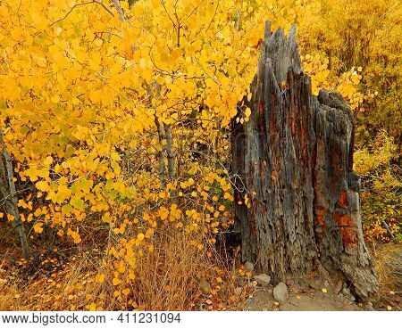 October Gold - An Autumn Stump Scene In The Aspen Trees At Shevlin Park - Bend, Or
