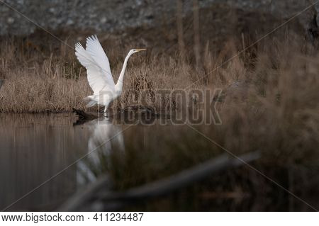 Great Egret (ardea Alba) On A Lake, Spreads Its Wings , Egret Reflection On Water
