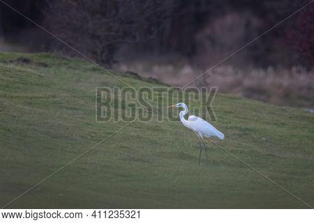 White Egret, Ardea Alba Egret Standing On The Lake Shore