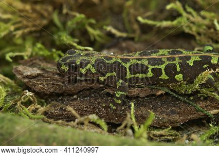 Closeup Of A Well Camouflaged Terrestrial Juvenile Marbled Newt, Triturus Marmoratus On Green Moss