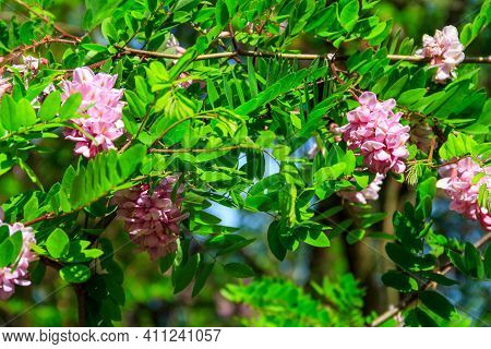 Pink Blooming Robinia Hispida, Known As The Bristly Locust, Rose-acacia, Or Moss Locust