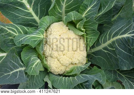 White Cauliflower On Plant, Brassica Oleracea. Rural Orchard, Fruit Ready To Harvest And Consume.