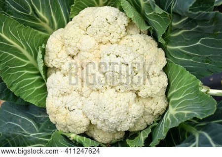 Close-up View Of White Cauliflower On Plant, Brassica Oleracea. Ecological Farming In Rural Areas.