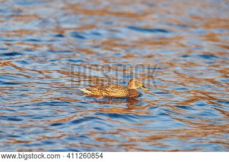 Female Mallard Waterfowl Bird Dabbling In Pond Or River. Close Up Of Anas Platyrhynchos, Mallard Duc