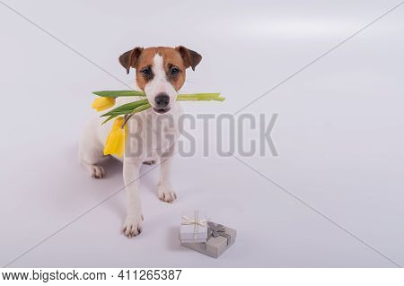 A Cute Dog Sits Next To Gift Box And Holds A Bouquet Of Yellow Tulips In His Mouth On A White Backgr