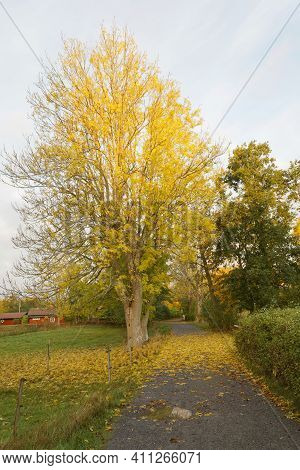 Beautiful Maple Tree At The Path And A Distant Red Cottage. Latin Name Of Maple: Acer Platanoides