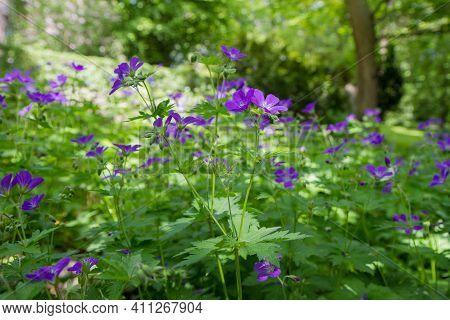 The Woodland Geranium (geranium Sylvaticum) Plant Blooming