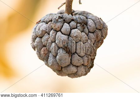 Annona Dry Dead On The Plant Before It Ripens.