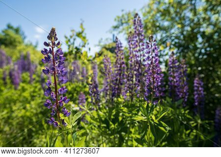 Wonderful Blooming Lupines In The Meadow, Among The Greenery, Against The Blue Sky. Beautiful Perenn