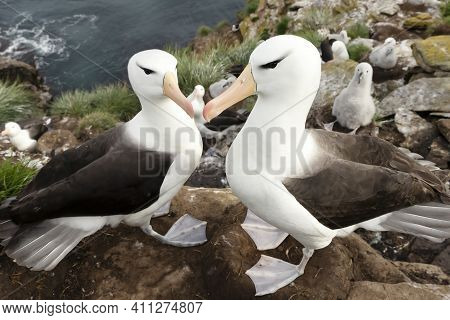 Close Up Of Black-browed Albatrosses On The Coast Of The Falkland Islands.