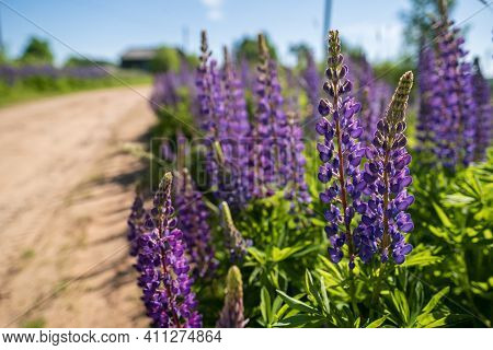 Beautiful Blooming Lupins Grow Next To The Village Sandy Road, In The Sun. Perennial Flowers Of Brig
