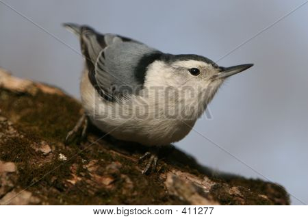 Close-up Nuthatch Bird On Log