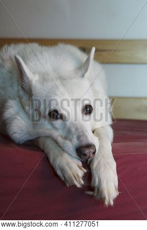 White West Siberian Laika. Funny Dog Meme Lies On The Bed. Sad Dog, Waiting For The Owner.