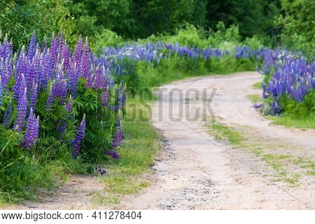 Beautiful Blooming Lupinus Grow Along The Village Sandy Road. Perennial Flowers Of Bright Purple Col