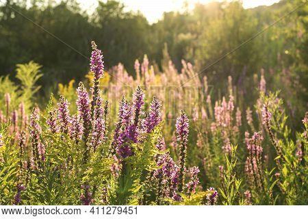 Purple Flowers On Wild Meadow Blooming. Beautiful Purple Salvia. Summer Landscape With Purple Flower