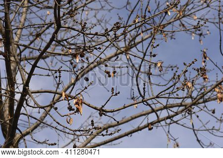 Narrow-leaved Ash Branches With Buds And Seeds Against Blue Sky - Latin Name - Fraxinus Angustifolia