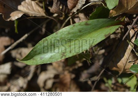 Dogs Tooth Violet Leaf - Latin Name - Erythronium Dens-canis