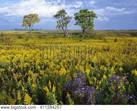 Springbrook Prairie Blooms Golden In The Autumn With Huge Concentrations Of Goldenrod Species, Sprin