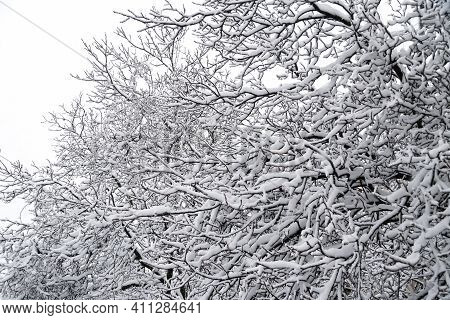 Close Up Of Branches Of Trees Covered With Ice And Snow, Sleet Load. Weather Forecast Concept. Snowy