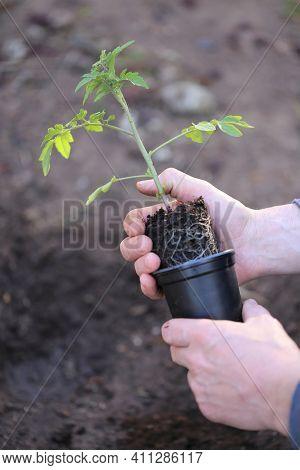 Tomato Seedlings In The Garden.spring Seedlings. Gardening And Horticulture. Seedling In The Hands.