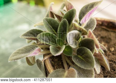 Violet Leaves In A Pot On A Windowsill Close Up