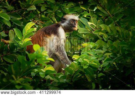 Zanzibar Red Colobus - Piliocolobus Kirkii Monkey Endemic To Unguja, Main Island Of Zanzibar Archipe