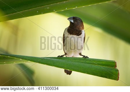 Bronze Munia - Lonchura Cucullata Or Bronze Mannikin Small Passerine Bird Of The Afrotropics, Very S
