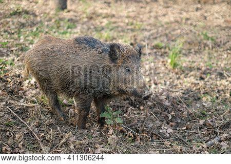 Wild Boar Pork Living In Forest Ecosystem, Wildlife Animal Environment, Hunt Fauna