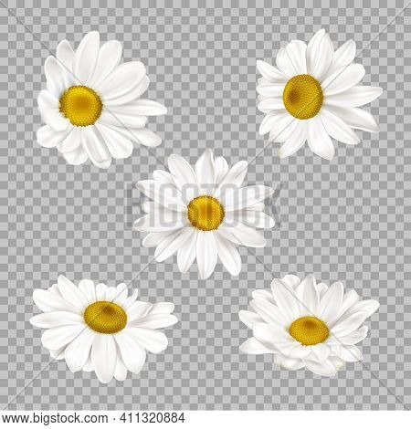 Realistic Chamomile Flowers. Blooming Daisy Garden Herbal Plant. Meadow Chamomiles Spring Flower Kit