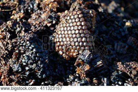 As Waste Material In The Melting Of Wax, It Hardens. The Honeycomb Used Several Times By The Honeyco