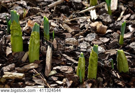 Sprouting Green Shoots Of Giant Ornamental Garlic Blooming In Spiked Purple Flowers In A Flowerbed O