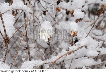 Close-up Of The Poisonous White Fruits Of A Snowberry Bush With Snow Covered Twigs In Wintertime