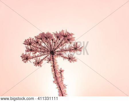 The Field Plant Heracleum Is Covered With White Snow In The Fog In Winter. Meadow Plant Heracleum. W