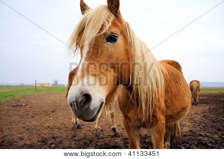 Brown Horse with light hair in the ranch poster